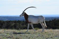 在狂放的短弯刀羚羊属 库存照片