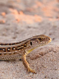 在狂放的砂蜥蜴 库存图片