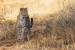 在狂放的美丽的豹子 免版税库存图片