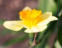 在狂放的美丽的黄色花在春天 图库摄影