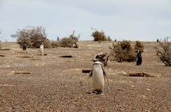 在狂放的自然的企鹅Magellanic。巴塔哥尼亚。 免版税库存图片