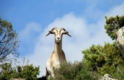 在狂放的自然的白色山羊 库存照片