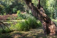 在狂放的自然的老树 库存照片