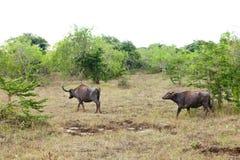 在狂放的自然的水牛 免版税库存图片