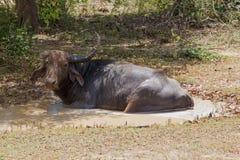 在狂放的自然的水牛 库存图片