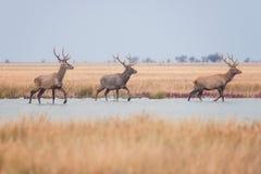 在狂放的自然,与鹿鹿Elaphus牧群的美好的干草原风景的马鹿  库存照片