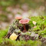 在狂放的蘑菇。 库存照片