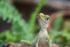 在狂放的蜥蜴 图库摄影