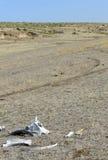 在狂放的西部大草原驱散的干燥骨头 库存图片