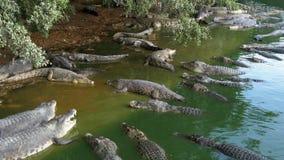 在狂放的谎言的许多鳄鱼在岸的一条湿软的河在树下 泰国 聚会所 影视素材