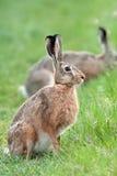 在狂放的野兔,在清洁 免版税库存照片
