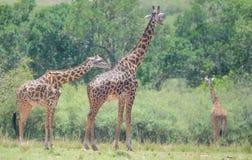 在狂放的长颈鹿 免版税库存照片