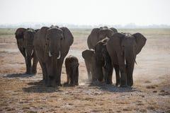 在狂放的非洲大象牧群。 免版税库存图片