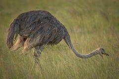 在狂放的驼鸟在夸祖鲁纳塔尔 免版税库存图片