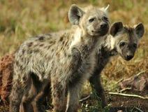 在狂放的鬣狗 库存图片