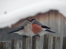 在狂放的鸟红腹灰雀 库存照片