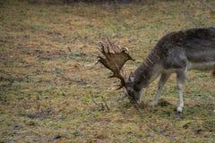 在狂放的鹿在森林里 库存照片