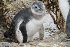 在狂放的麦哲伦逗人喜爱的小企鹅 免版税库存照片