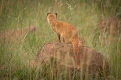 在狂放的黄色猫鼬在夸祖鲁纳塔尔 库存照片