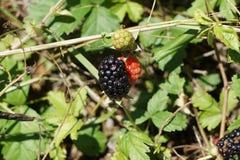 在狂放的黑莓果灌木的一个野生黑莓果 免版税库存照片
