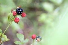 在狂放的黑莓 图库摄影