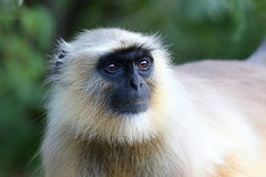 在狂放的猴子在印度 免版税库存图片