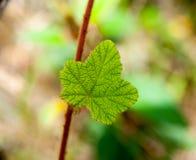 在狂放的绿色叶子泰国 免版税库存照片