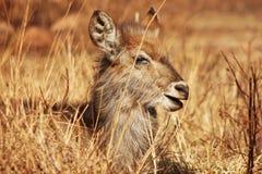 在狂放的年轻eland 库存照片