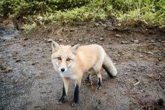 在狂放的Fox 库存图片