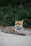 在狂放的Fox 图库摄影