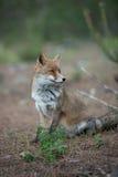 在狂放的Fox 库存照片