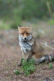 在狂放的Fox 免版税库存照片