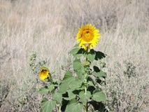 在狂放的grassses中的向日葵 免版税库存图片