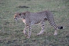 在狂放的maasai玛拉的母猎豹 库存图片