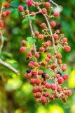 在狂放的Raspberrys growng 库存照片