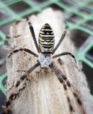 在狂放的Vespenspinne蜘蛛 免版税库存图片