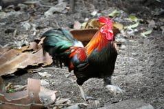 在狂放走和搜寻的泰国鸡雄鸡食物 免版税库存照片