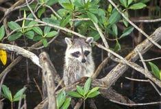 在狂放,大沼泽地国家公园, 10,000个海岛, FL的浣熊 库存照片