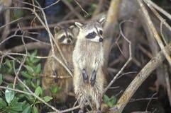 在狂放,大沼泽地国家公园, 10,000海岛, FL的两头浣熊 免版税图库摄影