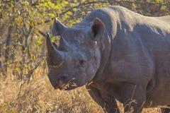 在狂放11的黑犀牛 免版税库存图片