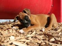 在狗公园的一只拳击手小狗 免版税库存照片
