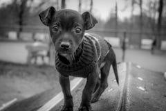 在狗公园的奇瓦瓦狗小狗 免版税库存图片