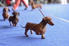 在狗展示的达克斯猎犬 库存照片