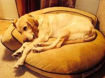 在狗床上的狗 免版税库存照片