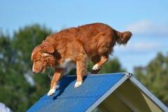 在狗敏捷性试验的新斯科舍鸭子敲的猎犬 免版税库存照片