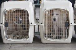 在狗条板箱的美国斯塔福德郡狗 免版税库存照片