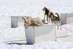 在狗窝顶部的多壳的狗 免版税库存照片