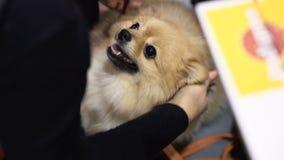 在狗陈列的可爱的纯血统宠物 股票录像