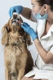在狩医招待会的金黄西班牙猎狗狗 库存照片