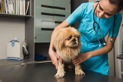 在狩医救护车的狗考试 免版税库存照片